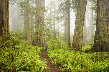 Visitor taking photo of redwood tree with cell phone in Lady Bird Johnson Grove, Redwoods National and State Parks, California.