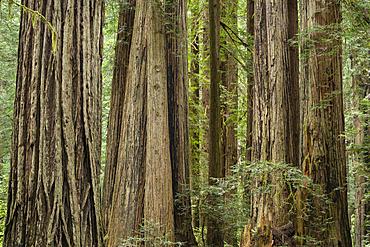Giant redwood trees along Cal Barrel Road in Prairie Creek Redwoods State Park, California.