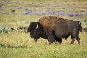 Bison in Lamar Valley, Yellowstone National Park, Wyoming.