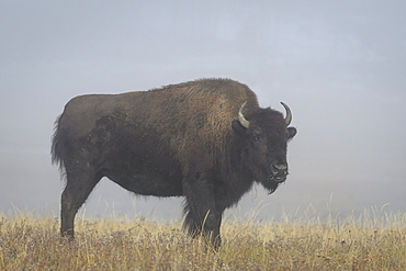 Bison in the fog. Fountain Flats, Yellowstone National Park, Wyoming.