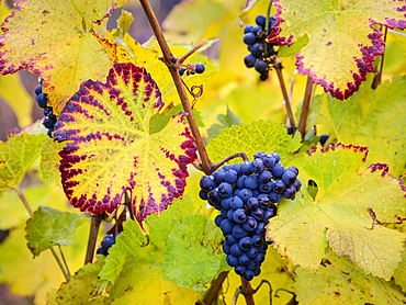 Pinot Noir wine grapes left on vine after harvest; Ardiri Winery and Vineyards, Tualatin Valley, Oregon.