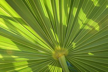 Fan Palm; Grand Residences Riviera Cancun, Puerto Morelos, Riviera Maya, Mexico.