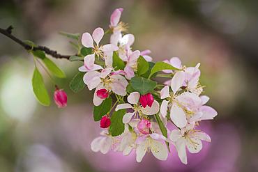 Flowering Crabapple tree blossoms at the Yakima Area Arboretum in Yakima, Washington.