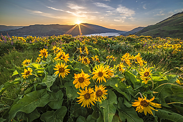 Balsamroot at The Nature Conservancy's Tom McCall Preserve overlooking the Columbia River Gorge in Oregon.