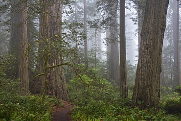 Redwood trees and fog in Lady Bird Johnson Grove, Redwoods National and State Parks, California.
