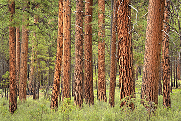 Ponderosa Pine trees in the Metolius River Natural Area, Deschutes National Forest, central Oregon.