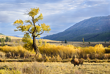 Bison and cottonwood tree in Lamar Valley, Yellowstone National Park.