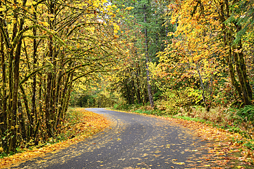 Fall color on the West Cascades Scenic Byway, Willamette National Forest, Oregon.