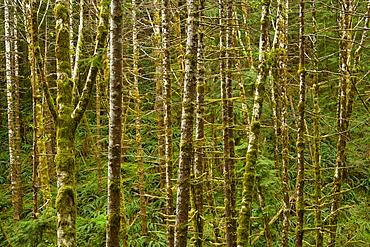 Alders, ferns and firs. Drift Creek Falls Trail, Siuslaw National Forest, Coast Range Mountains, Oregon.