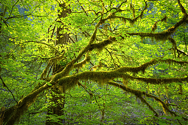 Vine maple and moss; North Fork Middle Fork of the Willamette River, Cascade Mountains, Oregon.