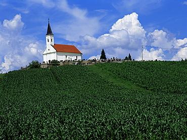 Hillside church above cornfield, Zadar region, Croatia, Europe