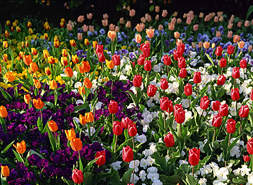 Bed of tulips and pansies in St. James's Park, London, England, United Kingdom, Europe