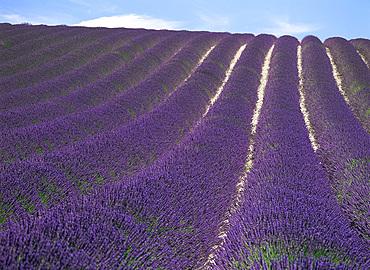 Field of lavender, Valensole Plains, Alpes-de-Haute Provence, Provence, France, Europe
