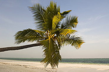 A palm tree leaning out over Matemwe beach, Zanzibar, Tanzania, East Africa, Africa