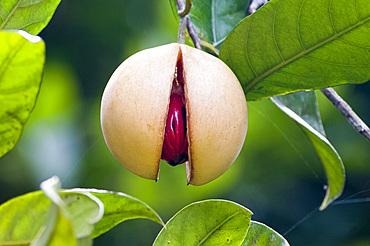 Nutmeg fruit at Kizimban Farms, Zanzibar, Tanzania, East Africa, Africa
