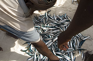 Newly caught fish for sale on the beach, Nungwi, Zanzibar, Tanzania, East Africa, Africa