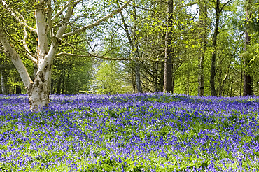 A field of bluebells in spring, Winkworth Arboretum, Godalming, Surrey, England, United Kingdom, Europe