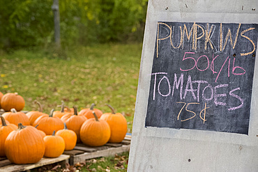 A roadside stand selling pumpkins and tomatoes in Barnard in central Vermont, New England, United States of America, North America
