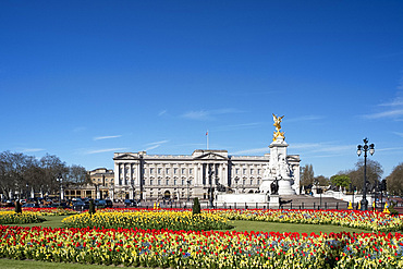 Red and yellow tulips growing in front of Buckingham Palace in April. London, England, United Kingdom, Europe