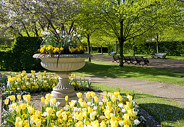 A stone urn planted with narcissus and violas and surrounded by yellow and white tulips in Regent's Park, London, England, United Kingdom, Europe