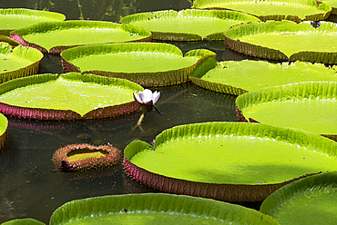 Victoria amazonica (giant water lily) at The Seewoosagur Ramgoolam Royal Botanical Garden, Pamplemousses, Mauritius, Indian Ocean, Africa