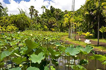The lotus tank (Nelumbo nucifera) at The Seewoosagur Ramgoolam Royal Botanical Garden, Pamplemousses, Mauritius, Indian Ocean, Africa
