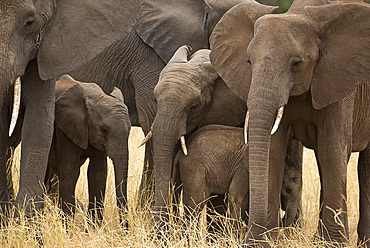 A family of elephants (Loxondonta africana) huddled together with their young in Tarangire National Park, Tanzania, East Africa, Africa