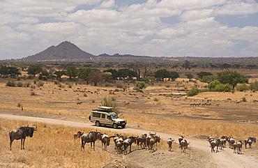 Wildebeest (Connochaetes taurinus) around a safari vehicle in Tarangire National Park, Manyara Region, Tanzania, East Africa, Africa