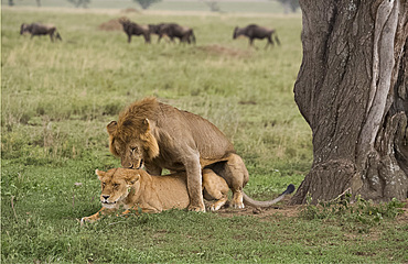A male and female lion (Panthera leo) mating in Serengeti National Park, UNESCO World Heritage Site, Tanzania, East Africa, Africa