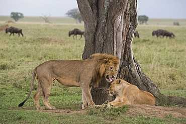 A male lion wooing a female (Panthera leo) before mating in Serengeti National Park, UNESCO World Heritage Site, Tanzania, East Africa, Africa
