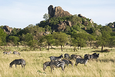 Burchells zebra (Equus burchelli) near a kopjes, in Serengeti National Park, UNESCO World Heritage Site, Tanzania, East Africa, Africa