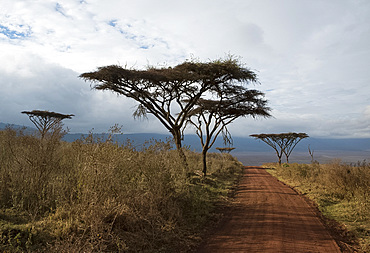 Flat top acacia trees (Vachellia abyssinica) along a road leading to the Ngorongoro Crater, Tanzania, East Africa, Africa