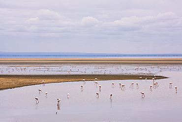 Flamingos on Lake Manyara in Lake Manyara National Park, Tanzania, East Africa, Africa