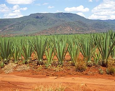 Sisal crop, Kenya, East Africa, Africa