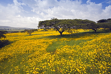 Acacia tree and yellow Meskel flowers in bloom after the rains, Green fertile fields, Ethiopian Highlands near the Simien mountains and Gonder, Ethiopia, Africa