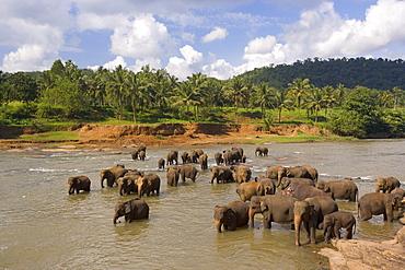 Elephants bathing in the river, Pinnewala Elephant Orphanage near Kegalle, Sri Lanka, Asia