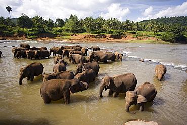 Elephants bathing in the river, Pinnewala Elephant Orphanage near Kegalle, Hill Country, Sri Lanka, Asia