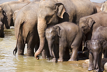 Elephants bathing in the river, Pinnewala Elephant Orphanage, near Kegalle, Hill Country, Sri Lanka, Asia