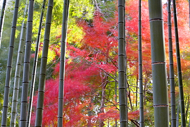 Colourful maples in autumn colours viewed from a bamboo grove, Arashiyama, Kyoto, Kansai Region, Honshu, Japan, Asia