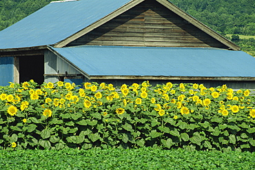 A line of sunflowers in front of a wooden farm building on Hokkaido, Japan, Asia