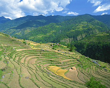 Terraced fields at rice harvest time in Annapurna District in Nepal, Asia