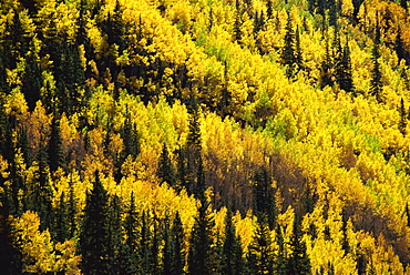 Fall foliage, near Silverton, Colorado, United States of America, North America
