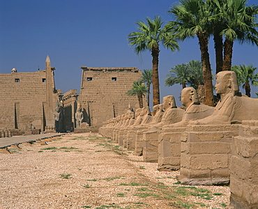 The Avenue of Sphinxes, leading to the Colossi of Ramses II, guarding Luxor Temple, Luxor, Thebes, UNESCO World Heritage Site, Egypt, North Africa, Africa