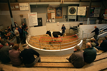 Skibbereen cattle auctions, County Cork, Munster, Eire (Republic of Ireland), Europe