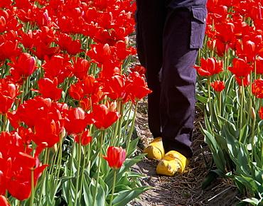 Clogs in red tulip bulbfield, Nordwijkerhout, The Netherlands, Europe