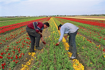 Men working harvesting in the tulip fields at Nordwijkerhout in Holland, Europe