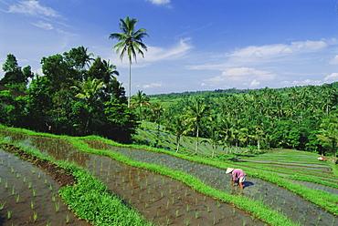 Planting rice, Bali, Indonesia, Asia