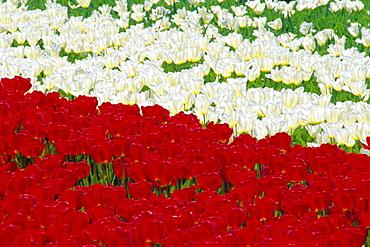 Tulip fields near Lisse/Keukenhof, Holland