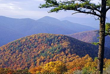 Autumn forest landscape near Loft Mountain, Shenandoah National Park, Virginia, USA, North America