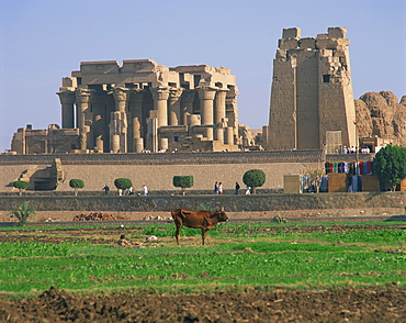 Cow in field in front of the ruins of the temple at Kom Ombo, Egypt, North Africa, Africa